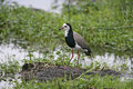 Long toed lapwing vanellus crassirostris single bird by water tanzania Stock Photos