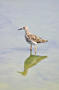 Long-toed stint bird Stock Image