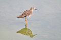 Long Toed Stint bird nature Stock Photography