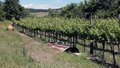 Long vineyards in the Italian hills Royalty Free Stock Photo