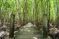 Long wood bridge in golden mangrove forest, Chanthaburi Thailand Royalty Free Stock Photo