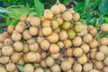 The longan fruit Stock Photography