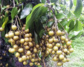 Longan orchards tropical fruits on the tree Stock Image