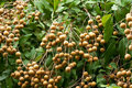 Longan, tropical  fruit on the tree Stock Photos