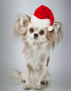 Longhair chihuahua  in Christmas Santa hat. Small dog sitting Royalty Free Stock Photo