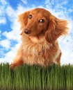 Longhair dachshund attitude outside grass Stock Image