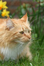 Longhaired cat Royalty Free Stock Photography