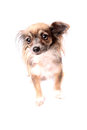 Longhaired chihuahua Royalty Free Stock Photo