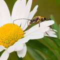 Longhorn Beetle Stock Photo