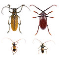 Longhorn beetles set of isolated on a white background Stock Image