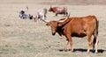 A longhorn bull in a field Stock Photo