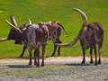 Longhorn Cattle  Royalty Free Stock Photos