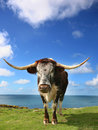 Longhorn cattle Grazing Stock Photo