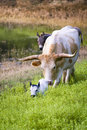 Longhorn cow and calf grazing at sunrise female in a texas pasture with her newborn Royalty Free Stock Images