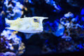 Longhorn cowfish close up of a light yellow mosaic patterned Royalty Free Stock Image
