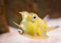 Longhorn cowfish lactoria cornuta exotic fish closeup Royalty Free Stock Image