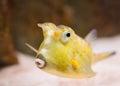 Longhorn cowfish lactoria cornuta exotic fish closeup Royalty Free Stock Image