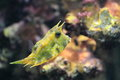 Longhorn cowfish water Stock Photography
