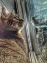 Longing for the outdoors my cat volt curiously watching outside of my home no doubt he wishes he were outside Royalty Free Stock Image