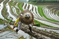 Longji rice terraces Royalty Free Stock Image