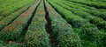 Longjing tea plantation with rows of bushes Stock Photo