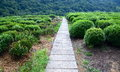 Longjing tea plantations pathway top view of in china Stock Photography