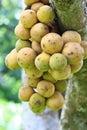 Longkong fruits on the tree closeup Stock Photography