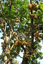 Longkong fruits on the tree hang Stock Image