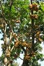 Longkong fruits on the tree hang Stock Image
