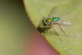 Longlegged Fly Royalty Free Stock Photos