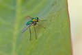 Longlegged Fly Royalty Free Stock Images