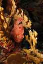Longlure Frogfish (Antennarius multiocellatus) Royalty Free Stock Photography