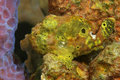 Longlure Frogfish Hiding on a Sponge Royalty Free Stock Photo