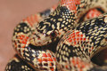 Longnose Snake Macro Stock Photo