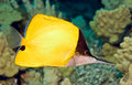 Longnosed butterflyfish solitary yellow with black upper head and silvery white below spot on anal fin shallow depth of field Royalty Free Stock Photo
