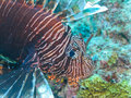 Longspine Lionfish, Great Barrier Reef, Australia Royalty Free Stock Photos