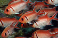 Longspine squirrelfish Royalty-vrije Stock Foto's