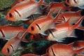 Longspine squirrelfish Στοκ φωτογραφίες με δικαίωμα ελεύθερης χρήσης