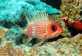 Longspine squirrelfish holocentrus rufus cozumel mexico Stock Photo