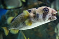 Longspined porcupinefish diodon holocanthus also known as the freckled wild life animal Stock Photos