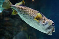 Longspined porcupinefish diodon holocanthus also known as the freckled wild life animal Royalty Free Stock Photography