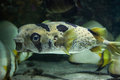 Longspined porcupinefish diodon holocanthus also known as the freckled wild life animal Royalty Free Stock Images