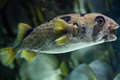 Longspined porcupinefish diodon holocanthus also known as the freckled wild life animal Royalty Free Stock Image
