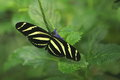 Longwing zebra Obrazy Stock