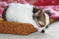 Longwoolled chihuahua puppy sleeping after dog games Royalty Free Stock Photo
