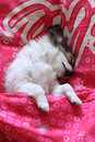 Longwoolled chihuahua puppy sleeping in the pink Stock Image