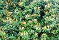 Lonicera caprifolium (goat-leaf honeysuckle, Italian honeysuckle, perfoliate woodbine) flowers, Mana Maicii Domnului, close up Royalty Free Stock Photo