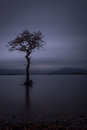 Lonley tree loch lomond scotland a in the middle of the calm waters of milarrochy bay Stock Photos