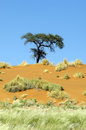 Lonley tree on an orange dune in Namibia Royalty Free Stock Photography
