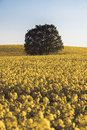 Lonley tree over the canola field clear sky and lots of yellow Stock Images
